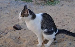 Почему у кошки черный кал