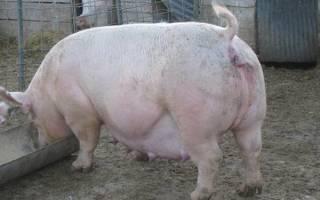 Як приймати роди у свині відео